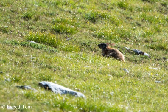 Swiss Alps Marmot