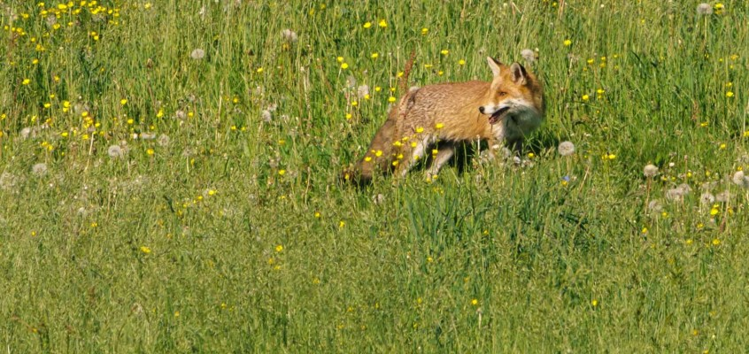 Wildlife Observation in the Jura Mountains