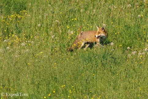 Wildlife observation: fox (vulpes vulpes)