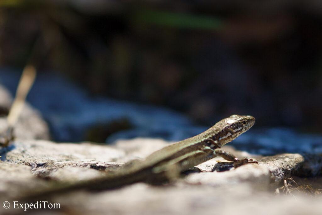 Wildlife observation of lizards