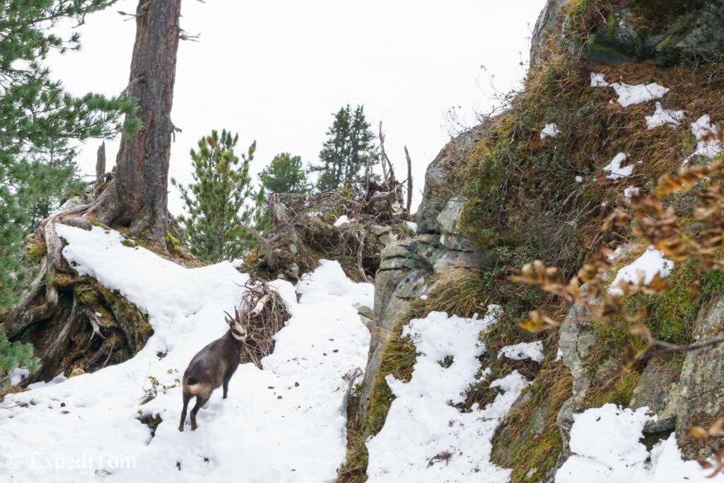Surprized a chamois on my way down
