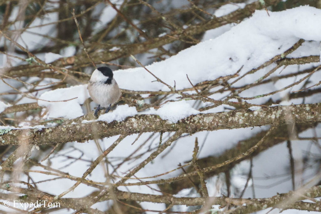 Coal tit in the forest