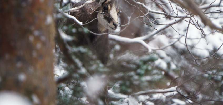 Chamois in the Snow