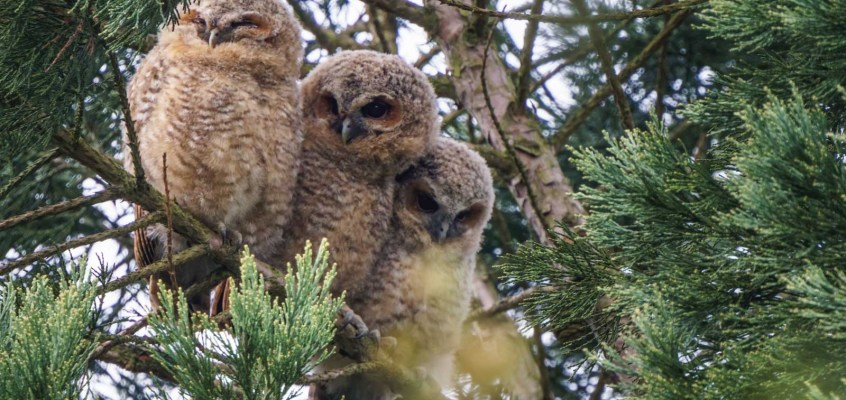 Tawny Owl and Other Forest Wildlife