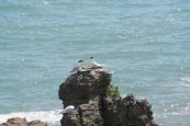 Petrels at Punakaki