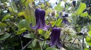 Unique purple bells