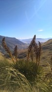 Speargrass at overlook of Gibson valley.