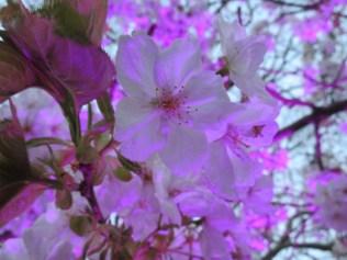 20160401_SakuraIlluminatin_Tremblay_IMG_4575