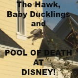 The Hawk Baby Ducklings and Pool of Death at Disney World