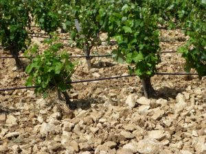 Bicycling though the Chateauneuf du Pape vineyards