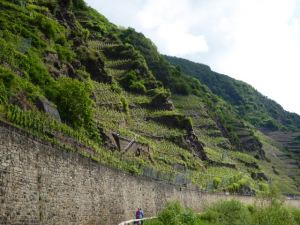 The Bremmer Calmont Vineyards, the steepest in Germany with an incline of 65%!