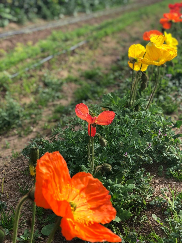 A-thefarm-poppy-IMG_E2396