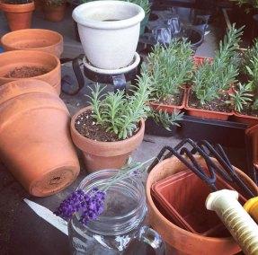 Pasto-Lavender-Farm-Propogating-Tioga-