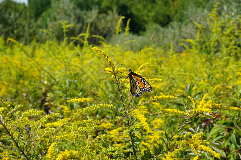 Two-Rivers-State-Park-Waverly-NY-Monarch