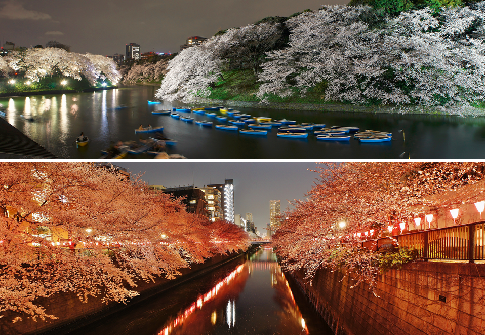 Pink or White? : Comparing Meguro River vs Chidorigafuchi Cherry Blossoms (Sakura)