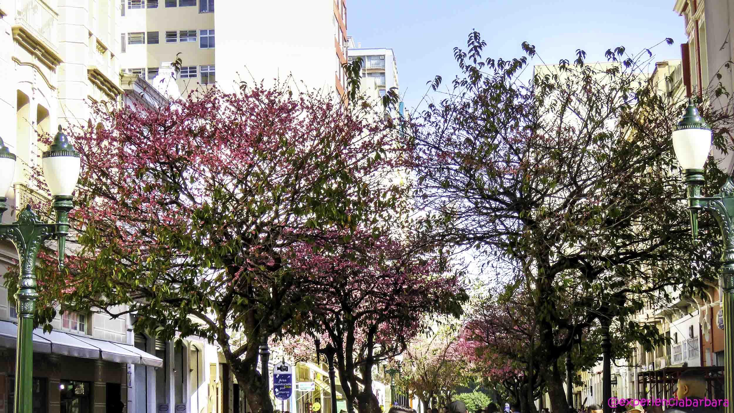 XV de Novembro em Curitiba com muitas cerejeiras