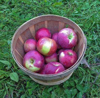 manzanas canada mcintosh