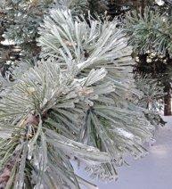 hojas de pino conjeladas