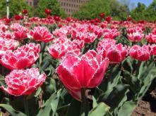tulipanesrojos