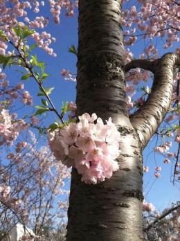 experiencias-de-viagens-washington-cherry blossom