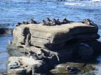 marine iguanas sunning