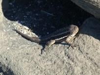 lava lizard saying hello to us