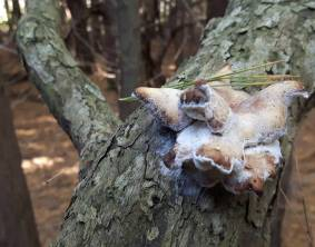A tree fungus within our reach.