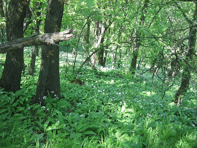 Bärlauch im Wald (Foto: ©  tantegert, Flickr)