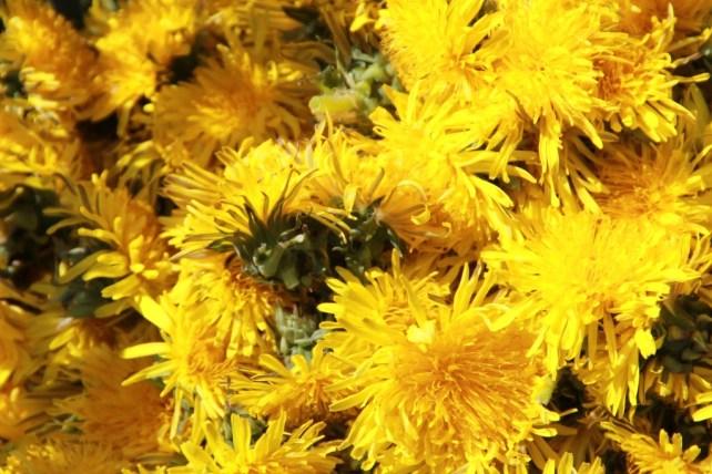 Gelbe Blütenköpfe des Löwenzahns