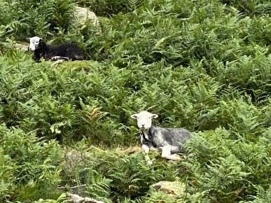 Herdwick Sheep among bracken