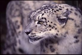 snow-leopard-female