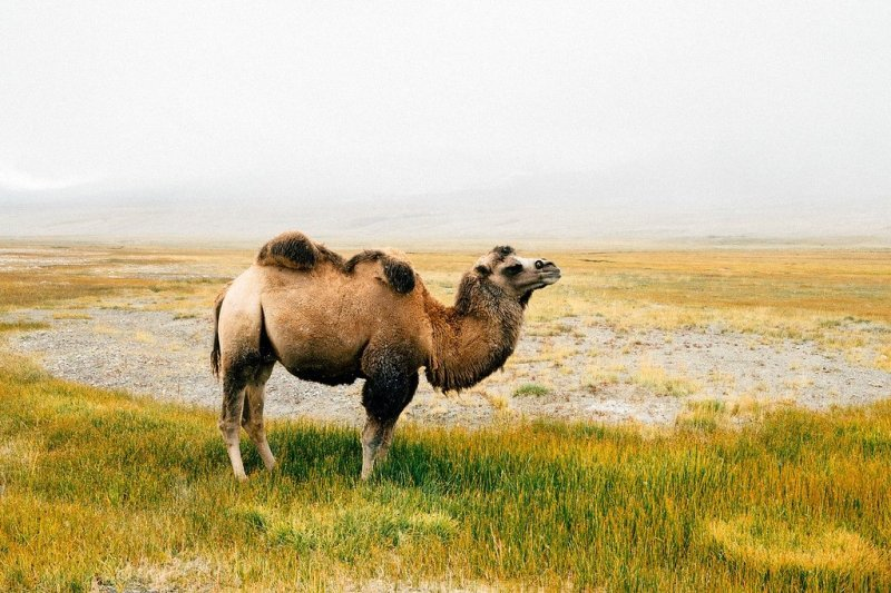 Camels in Afghanistan