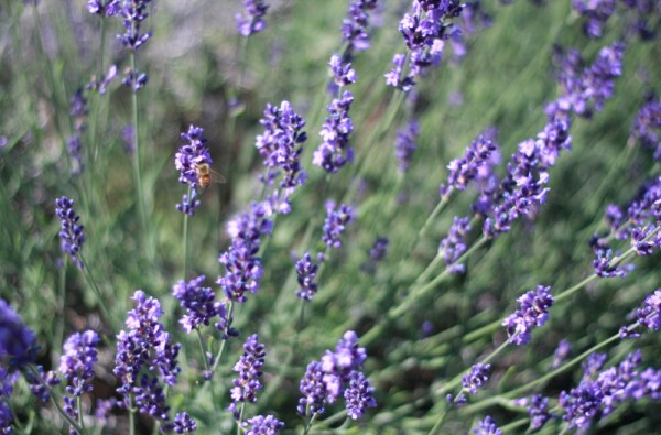 Lavender Honey