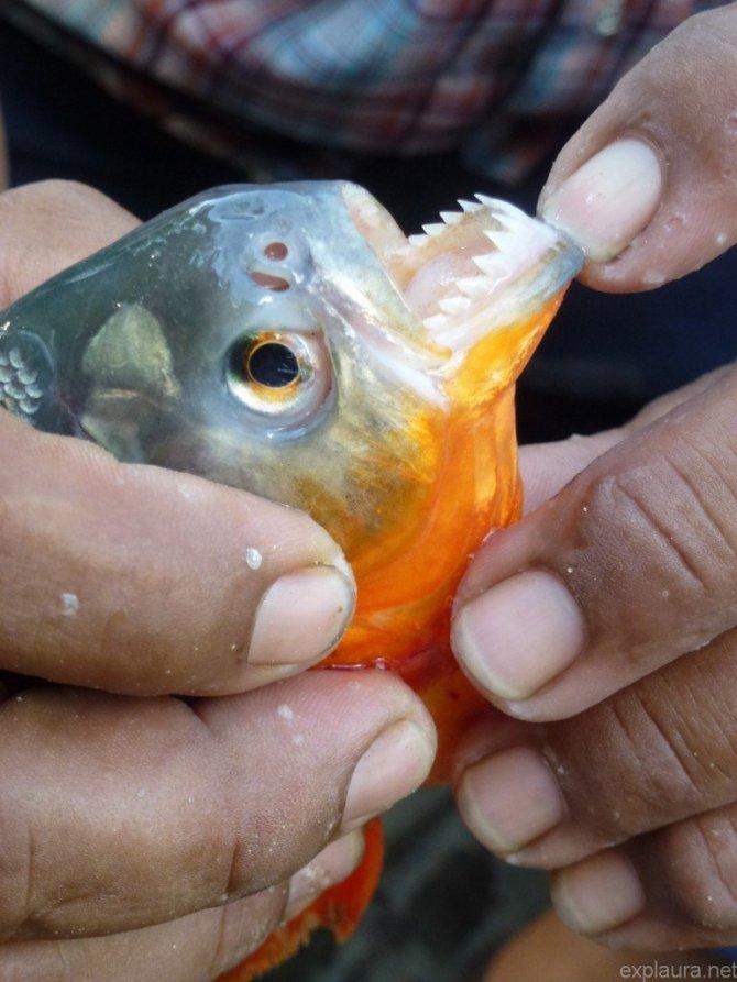 A red piranha.