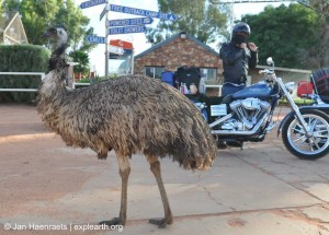 Curtin Spring's residential Emu (Photo: Jan Haenraets, 2012).