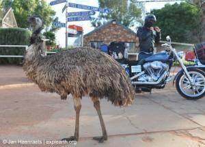 Curtin Spring's residential Emu (Photo: Jan Haenraets, 2012).