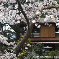 Cherry Blossoms in San Francisco: Hakone Gardens and the Japanese Tea Garden (Full Article)