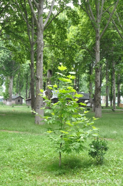 A rare example of a Chinar sampling being planted in a Mughal garden. Here at Naseem Bagh (Photo: Jan Haenraets, 2015).