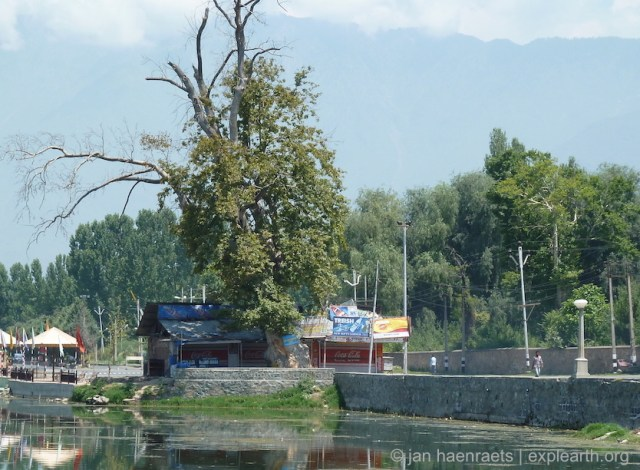 The northern bund with a Chinar tree that was suffocating and drying out as a result of construction of commercial stalls on its roots, and due to turning the soft lakeside edge into a stone and concrete wall. These new concrete walls contribute to the Chinars roots being damaged and access to water being disturbed (Photo: Jan Haenraets, 2010).
