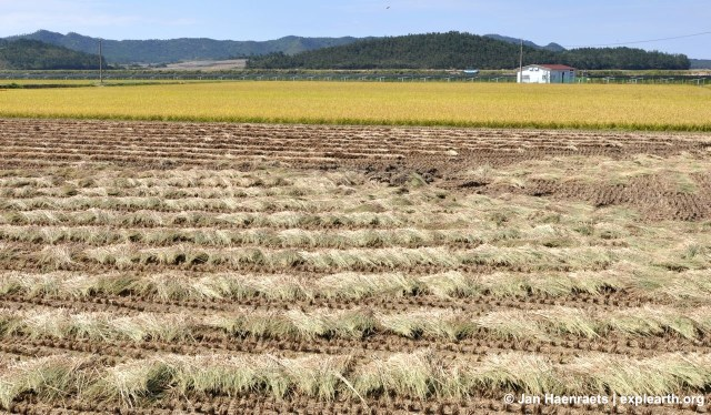 Rice crops on Palgeum Island (Photo: Jan Haenraets)