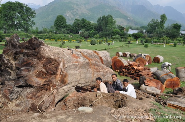 A dead Chinar tree at Shalimar Bagh being cut up. The tree probably dates back to the origins of the garden in the 17th C. and changes to water access, root damage and diseases must have contributed to its peril (Photo: Jan Haenraets, 2015).