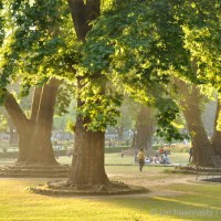 Save the Chinar: The Endangered Heritage of the Oriental Plane Trees of Kashmir (Full Article)