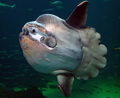 The ocean sunfish (Source: Per-Ola Norman, open source Wikipedia)