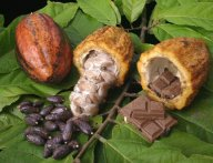 Cacao Stages