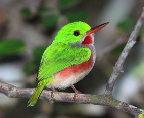 Broad Billed Tody