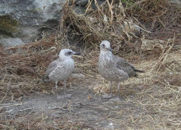 ilhas cíes gaivotas