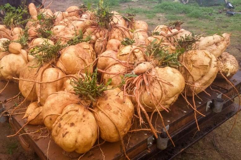 Algumas das batatas doces concorrentes ao Guiness - foto cedida gentilmente pelo Sr. Adriano