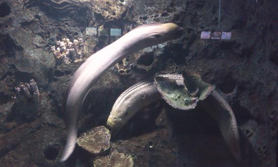 ikan belut