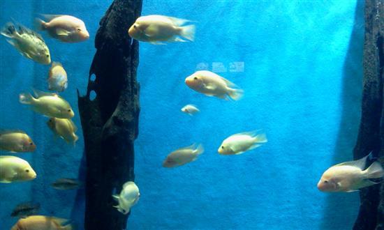ikan-warna-kuning