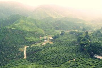 teh plantation